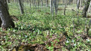 3 Peacehaven Trail - spring blanket of trilliums